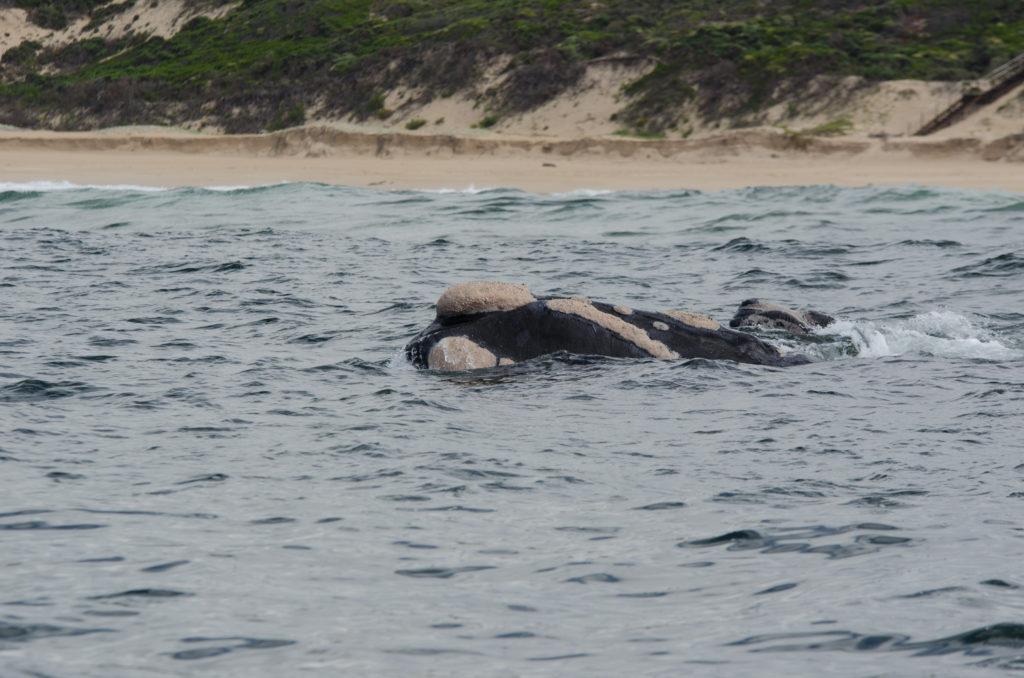 Whale watching in Plettenberg Bay