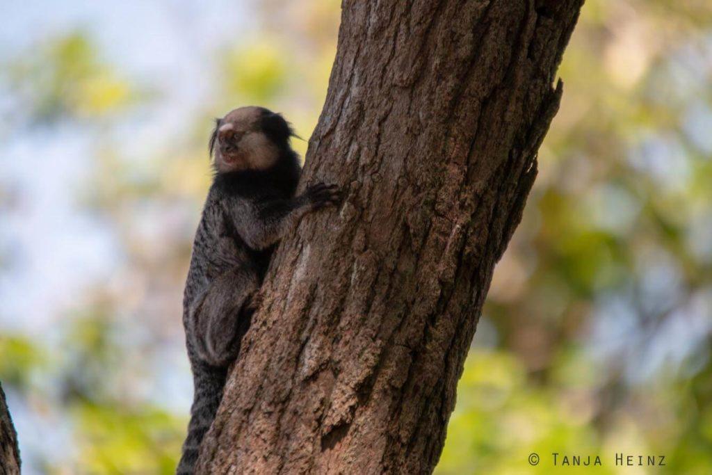 kleine Affen