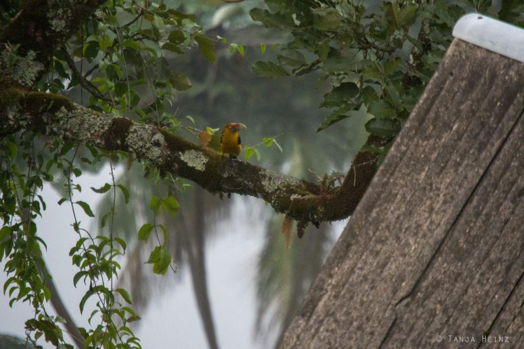 Vögel Brasiliens