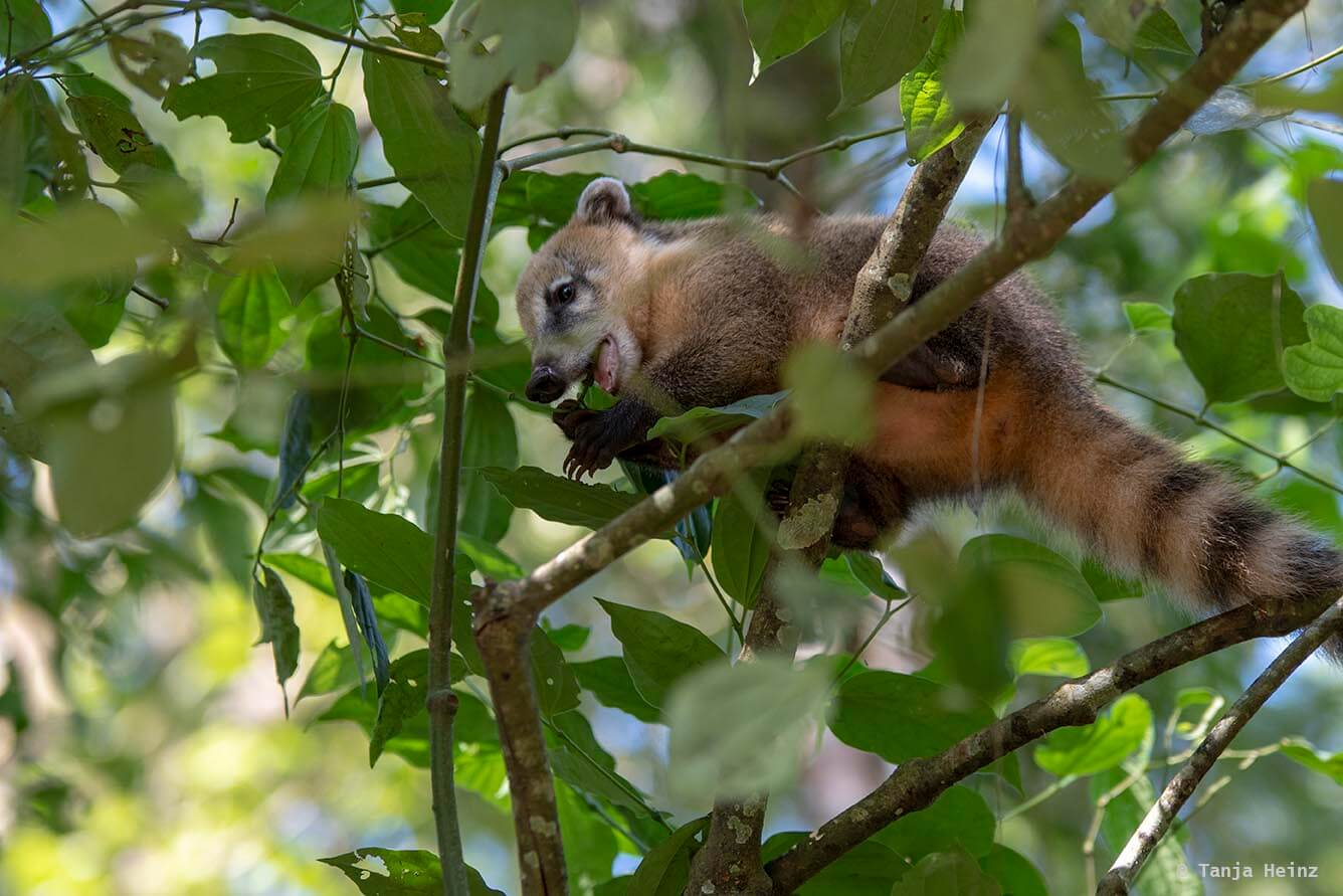 Foz-do-iguaçu-South-American-coati