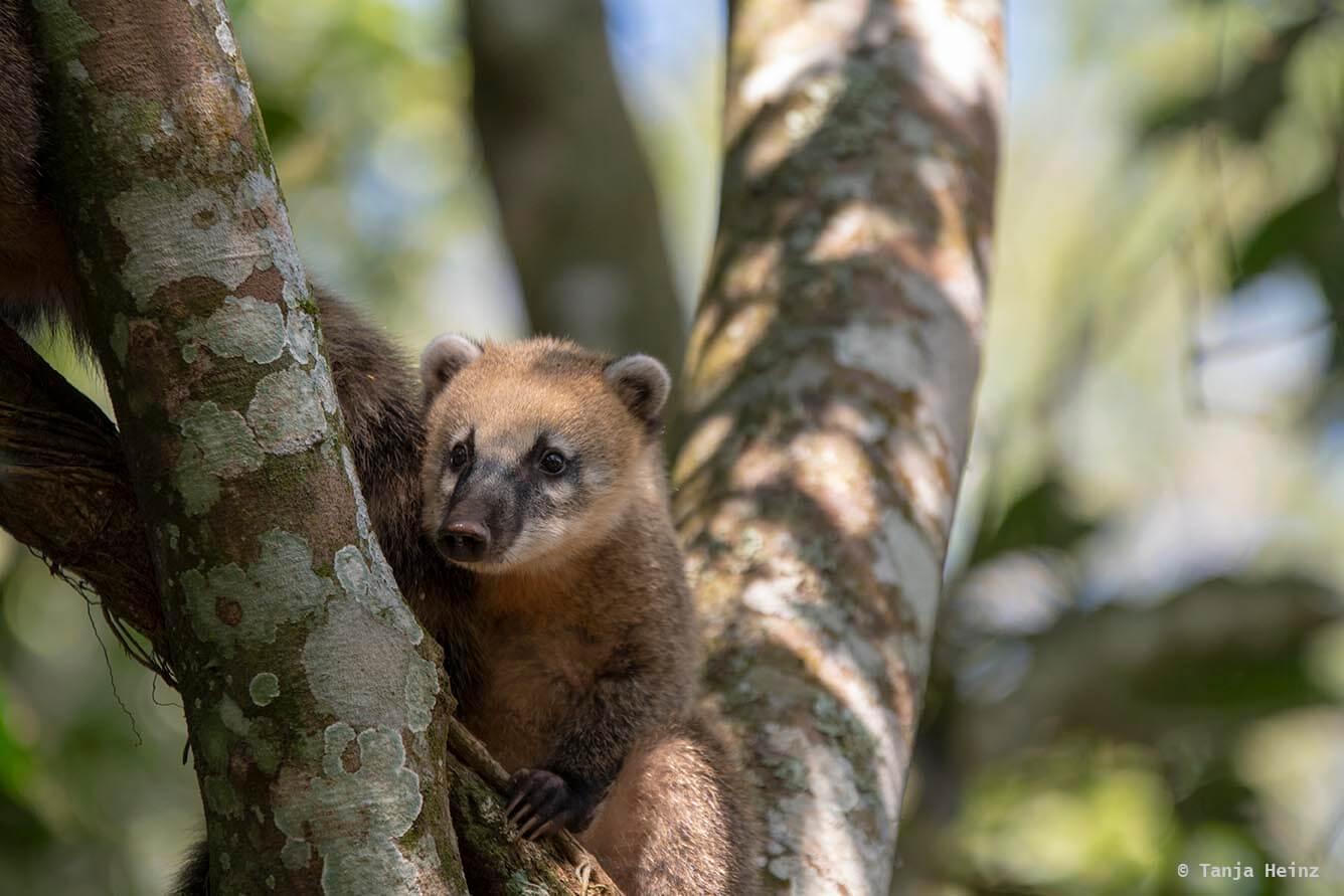 Foz-do-iguaçu-South-American-coati