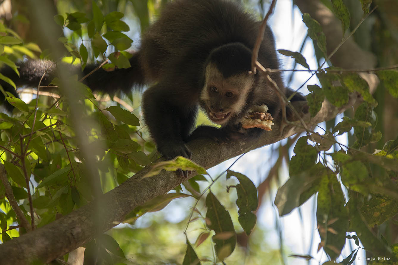 capuchin-monkeys-iguazú-national-park