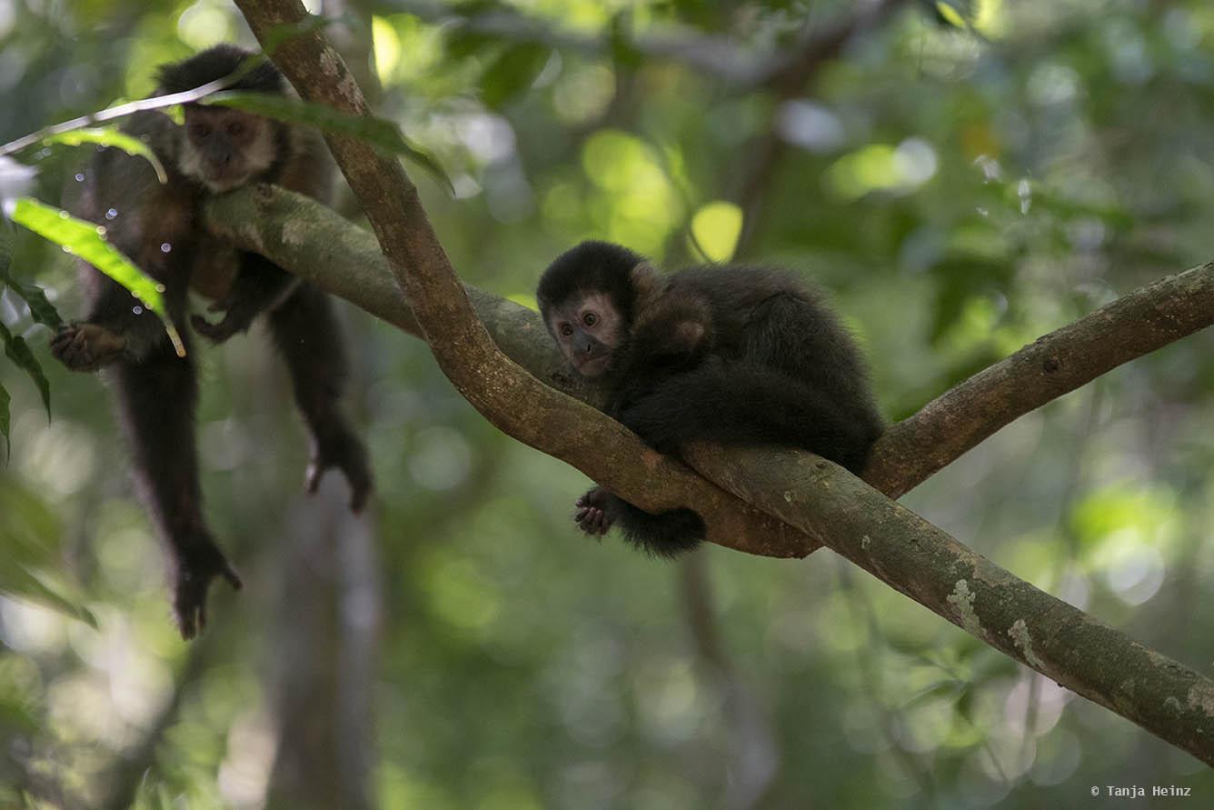 capuchin-monkeys-iguazú-national-park