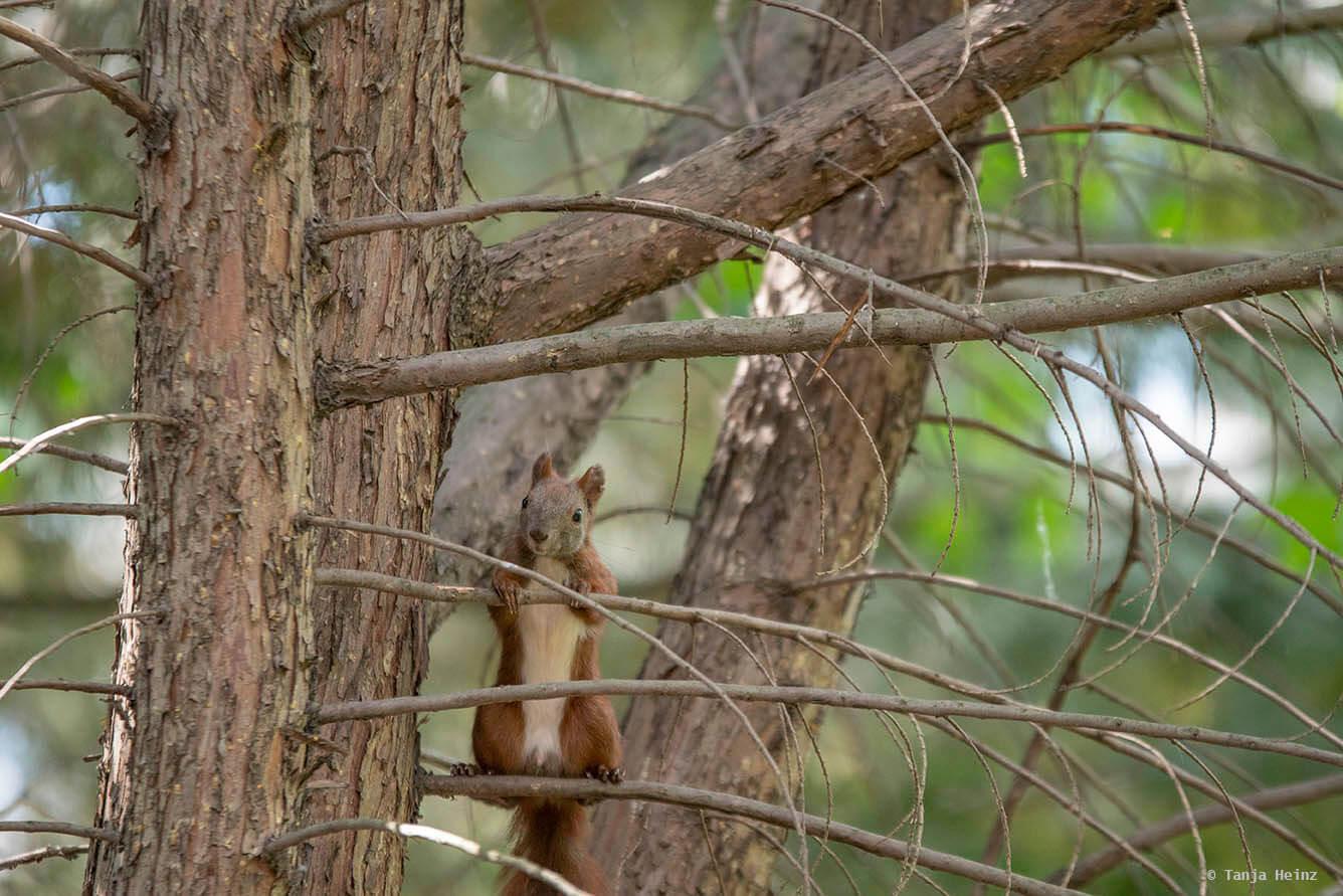 common-nightingale
