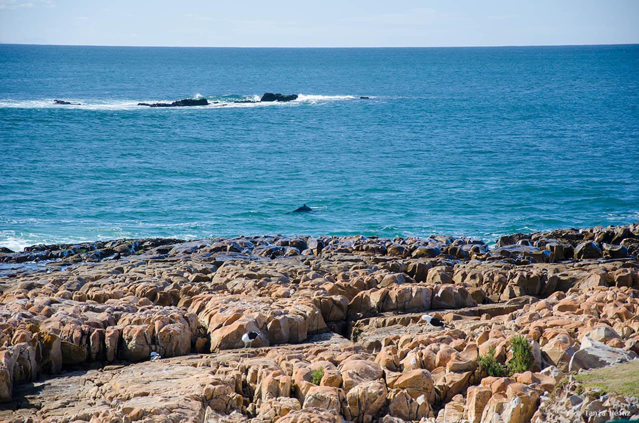 Buckelwale in Südafrika