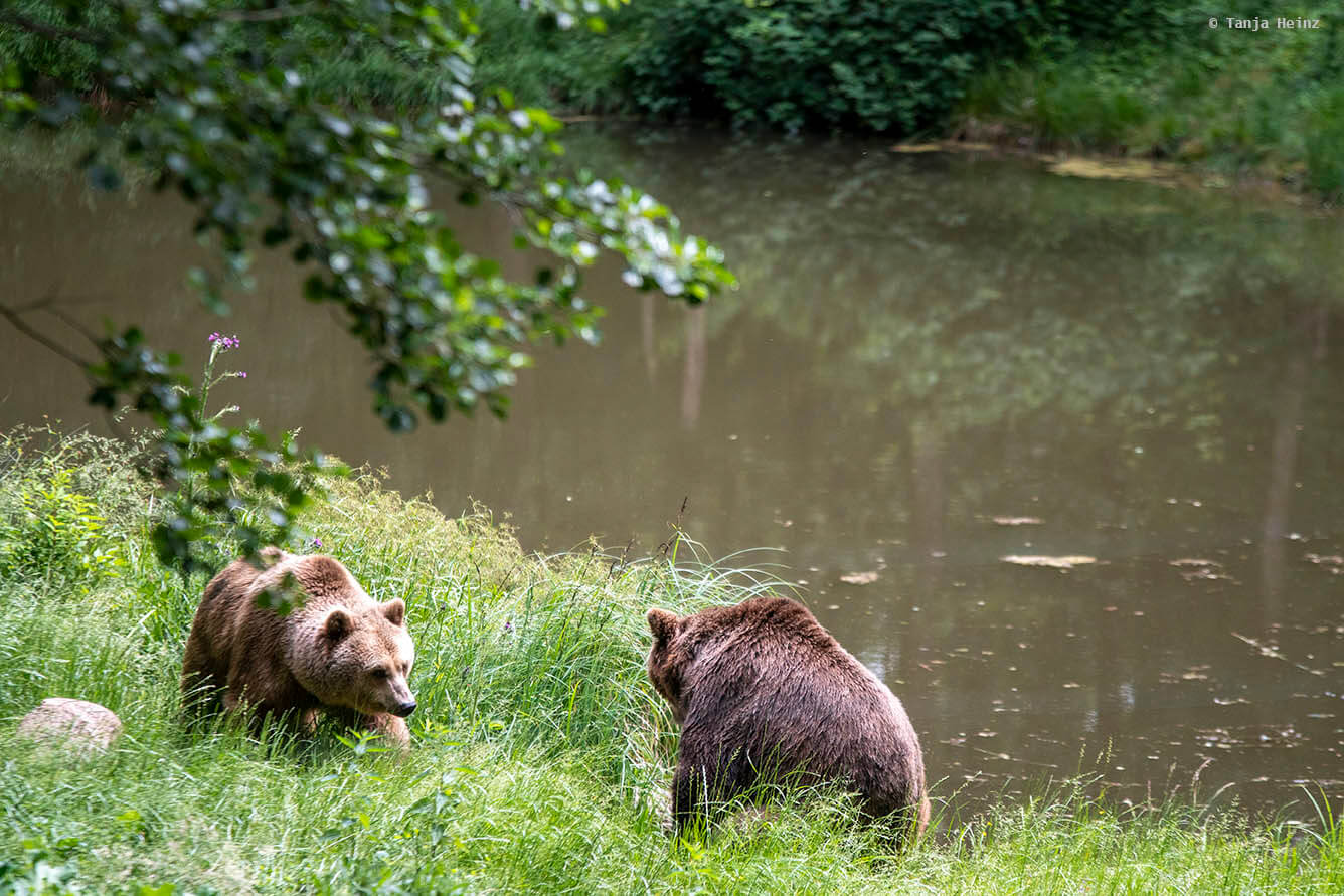 bears close to the water