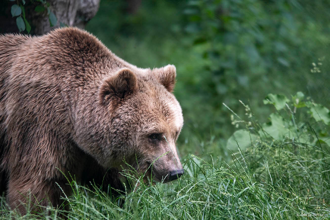 brown bear in the bear sanctuary