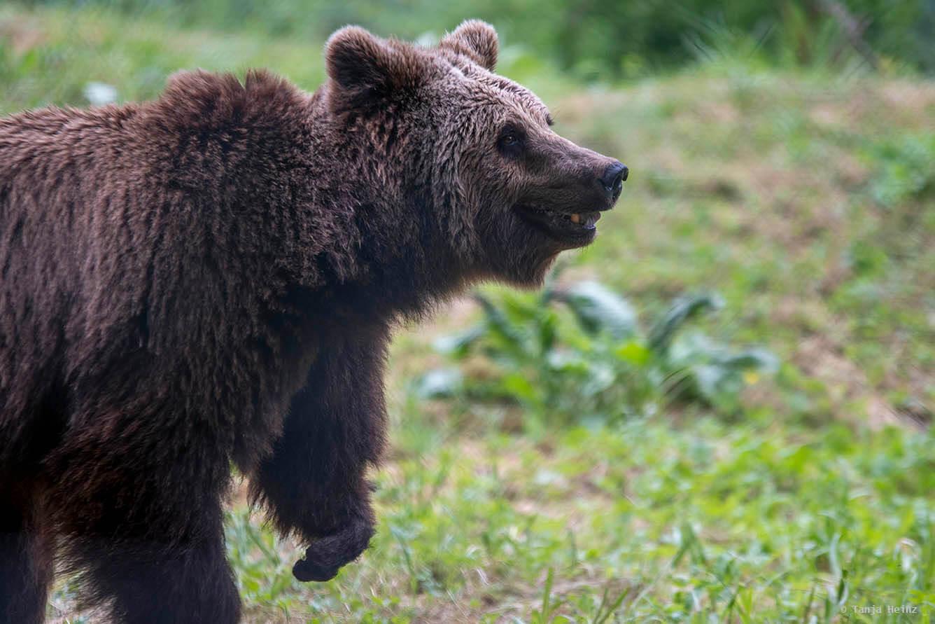 bear in the bear sanctuary