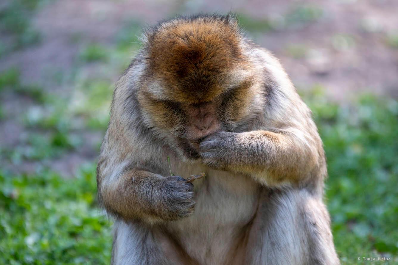monkey feeding on buds