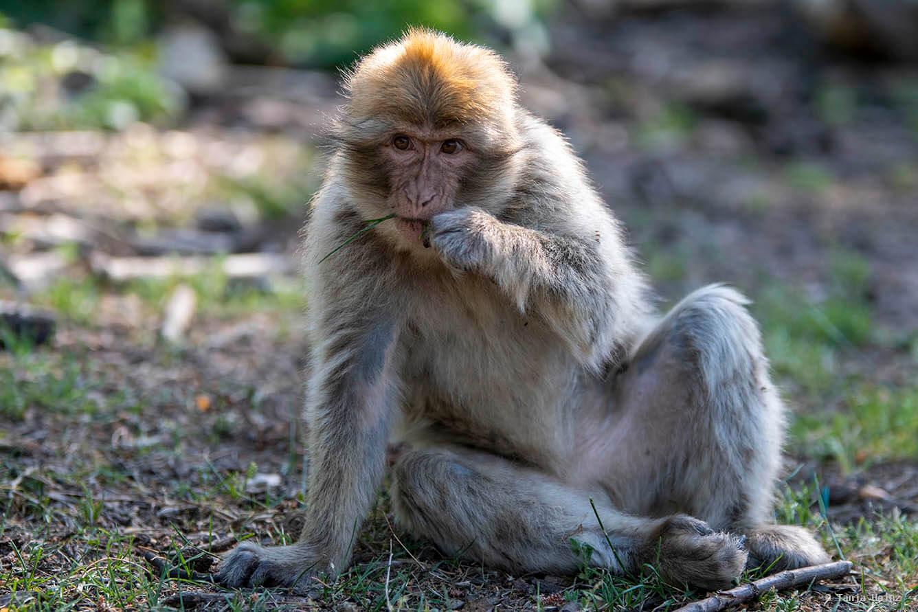 Gras fressender Affe
