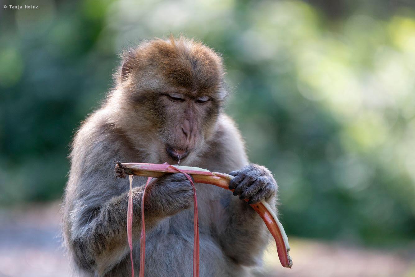 monkey feeding on fruits
