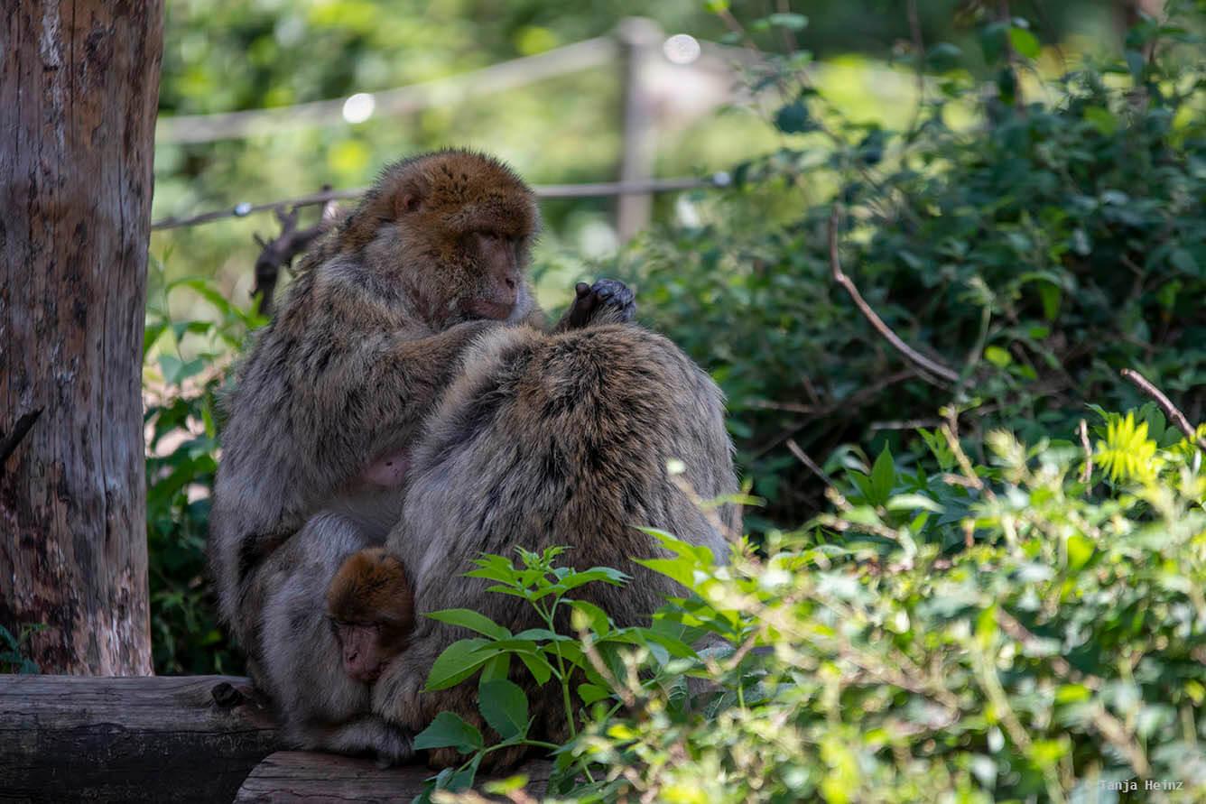 barbary macaques allogrooming