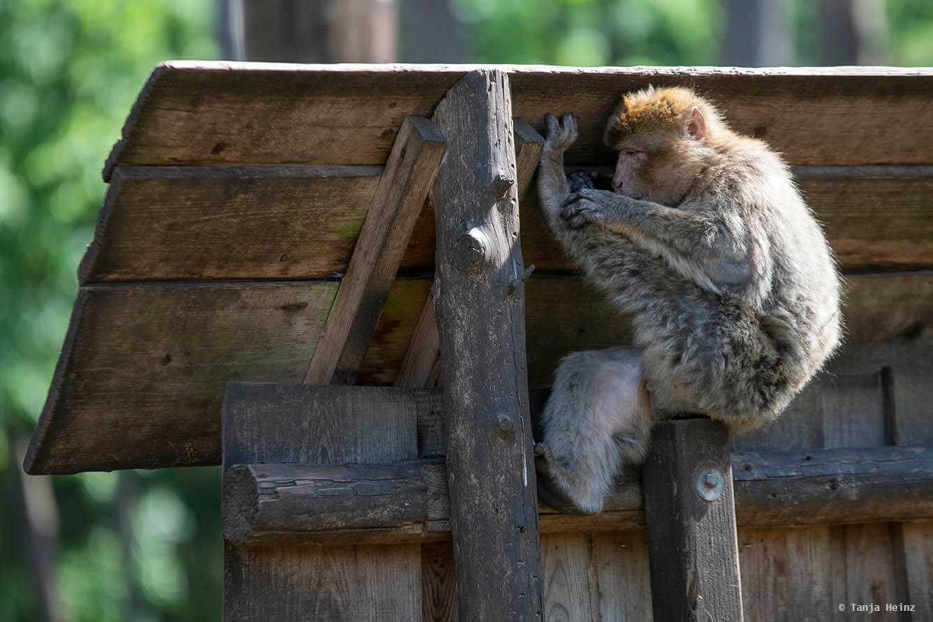 barbary macaque grooming
