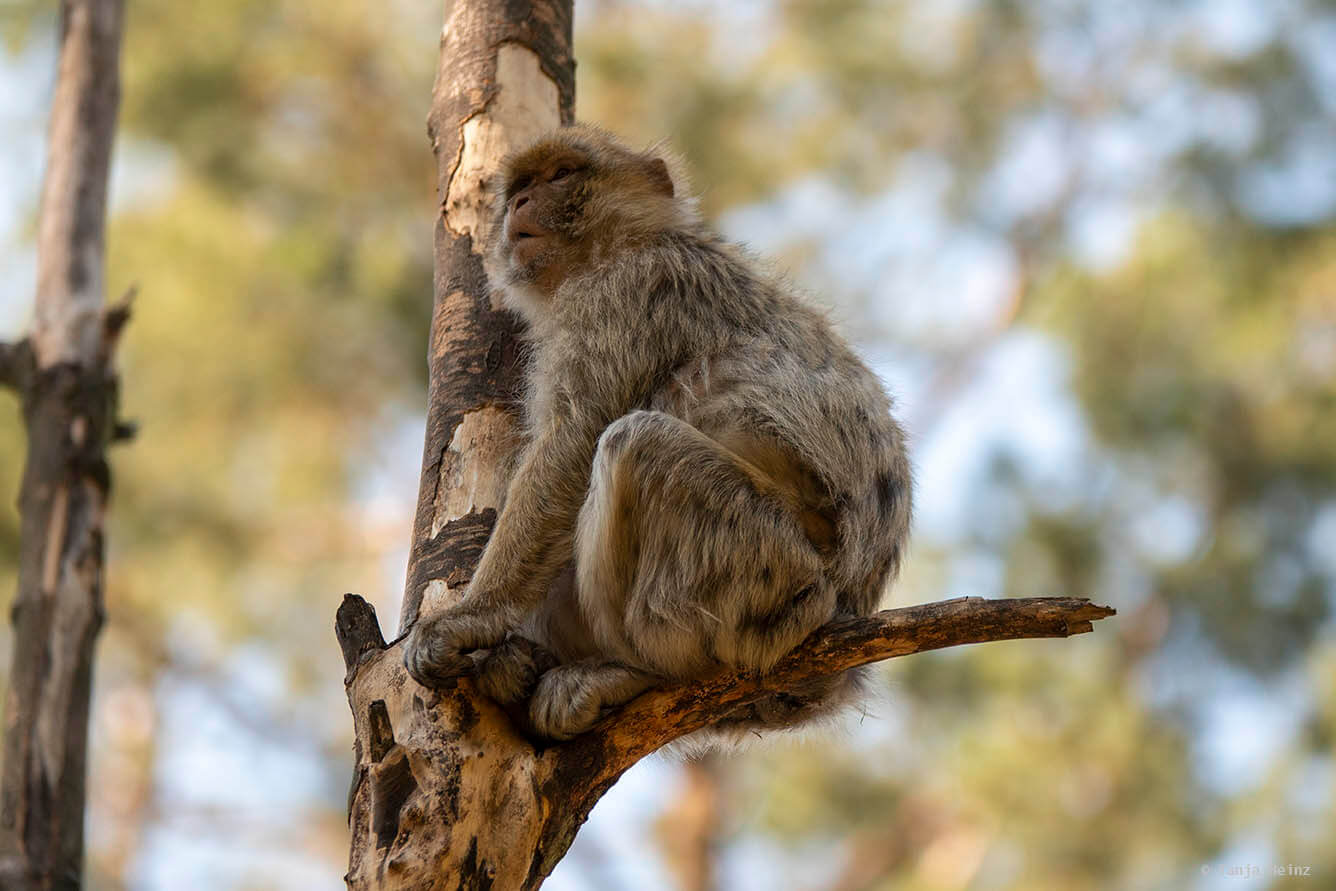 barbary macaque in the tree