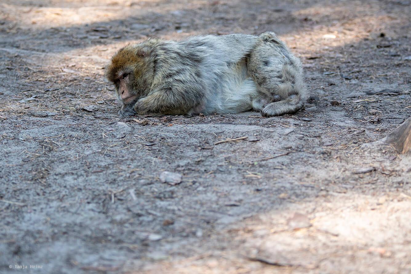 Affe auf dem Boden