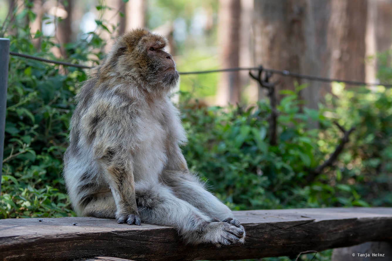 barbary macaque on a bench