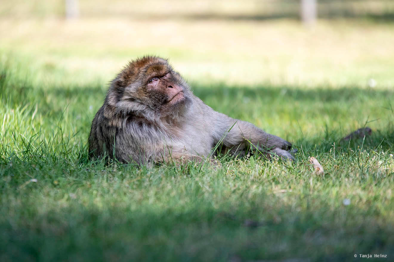 macaque in the monkey forest