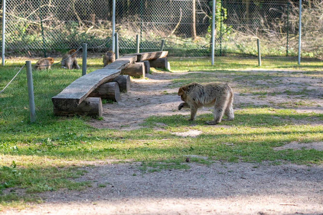 calm barbary macaque