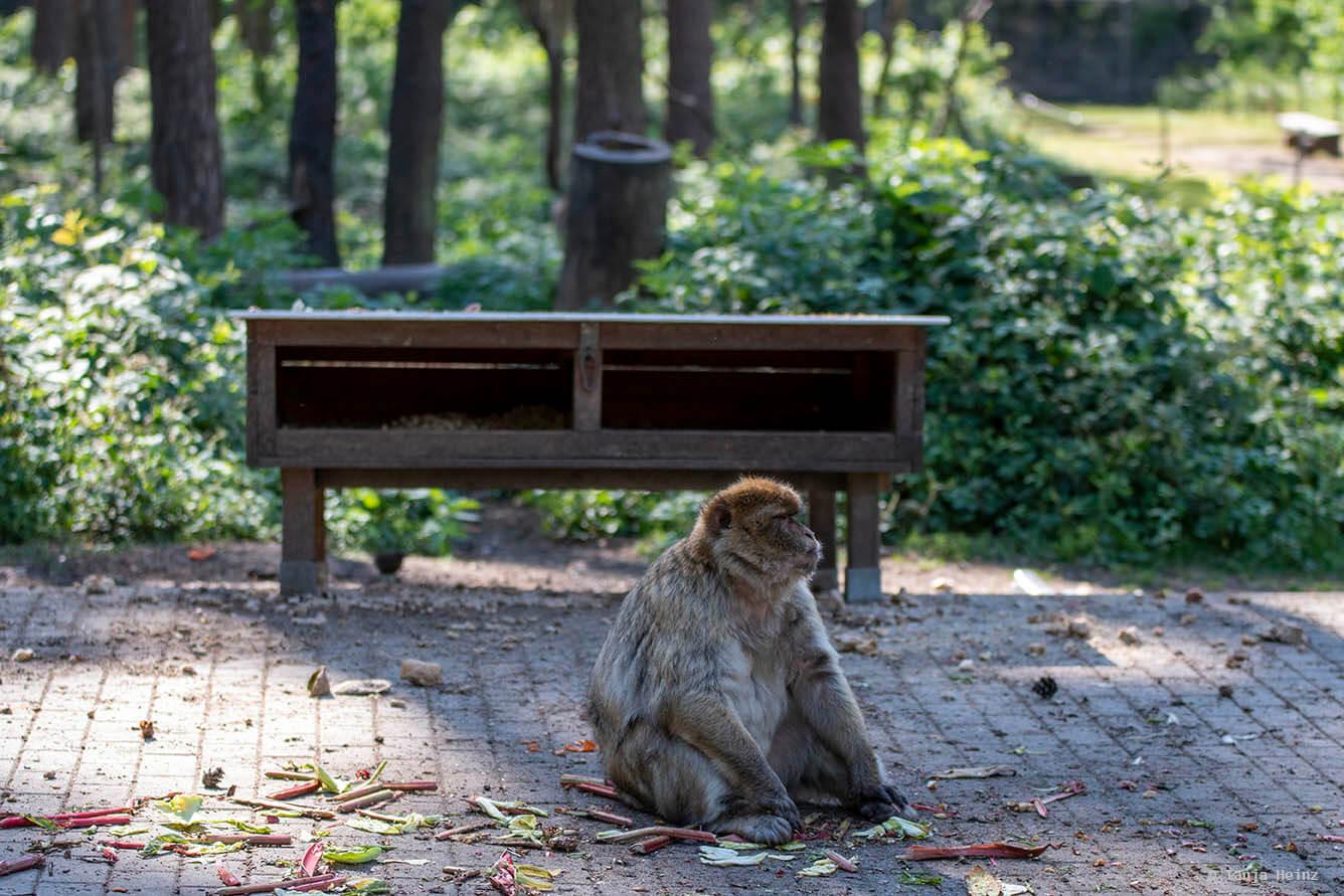barbary macaque feeding