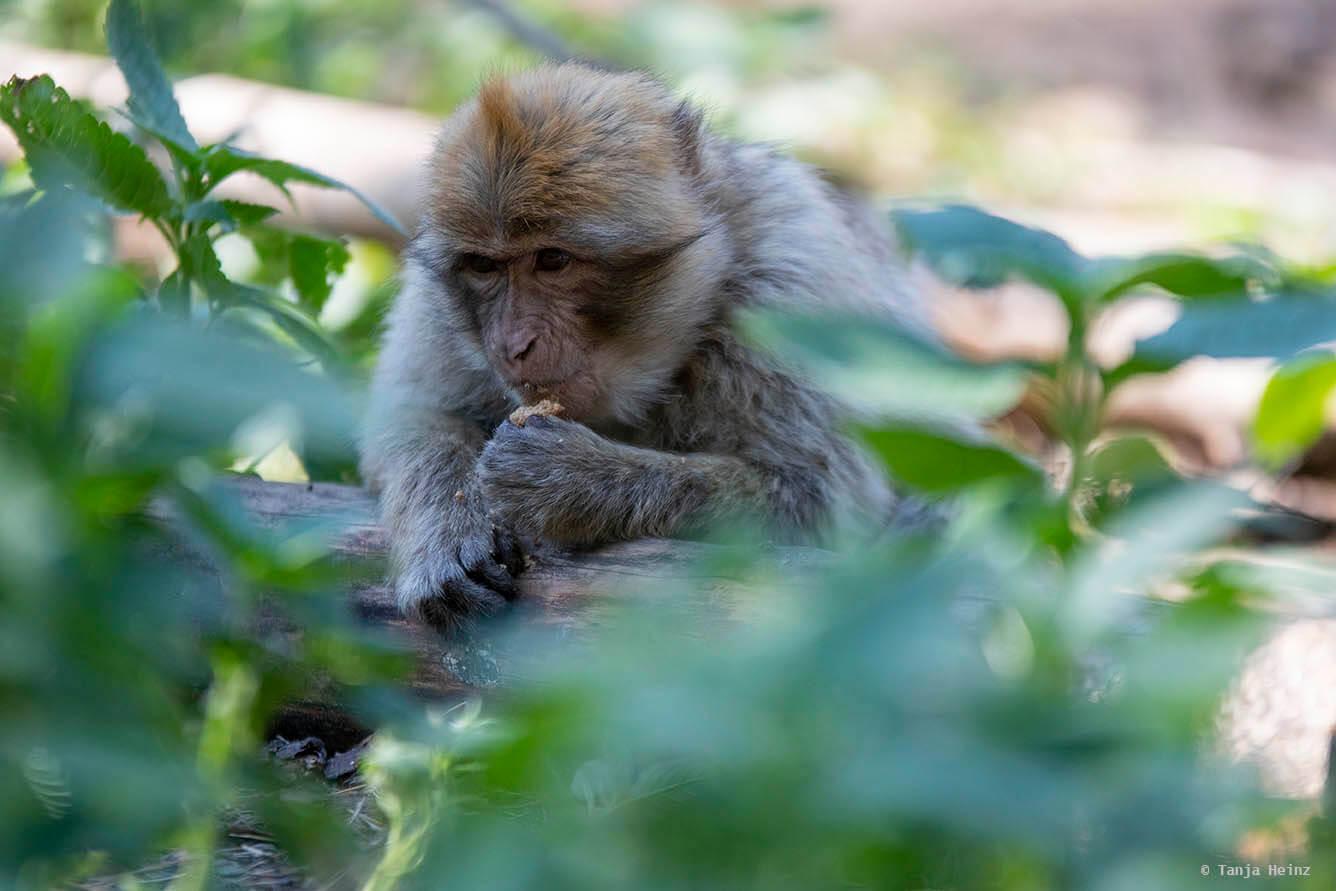 Affe sucht nach Fressen