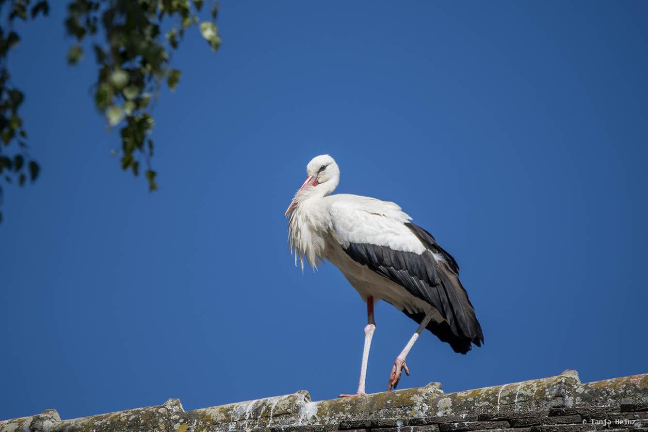 Weißstorch auf dem Dach