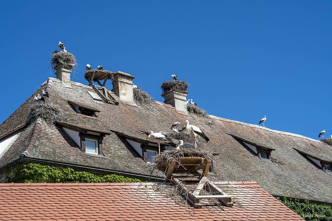 Weißstörche auf dem Dach