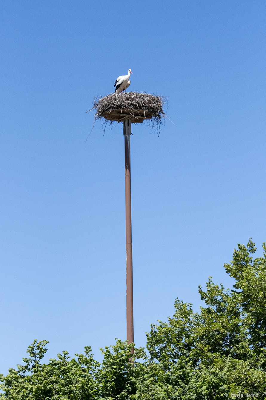 White stork in its nest