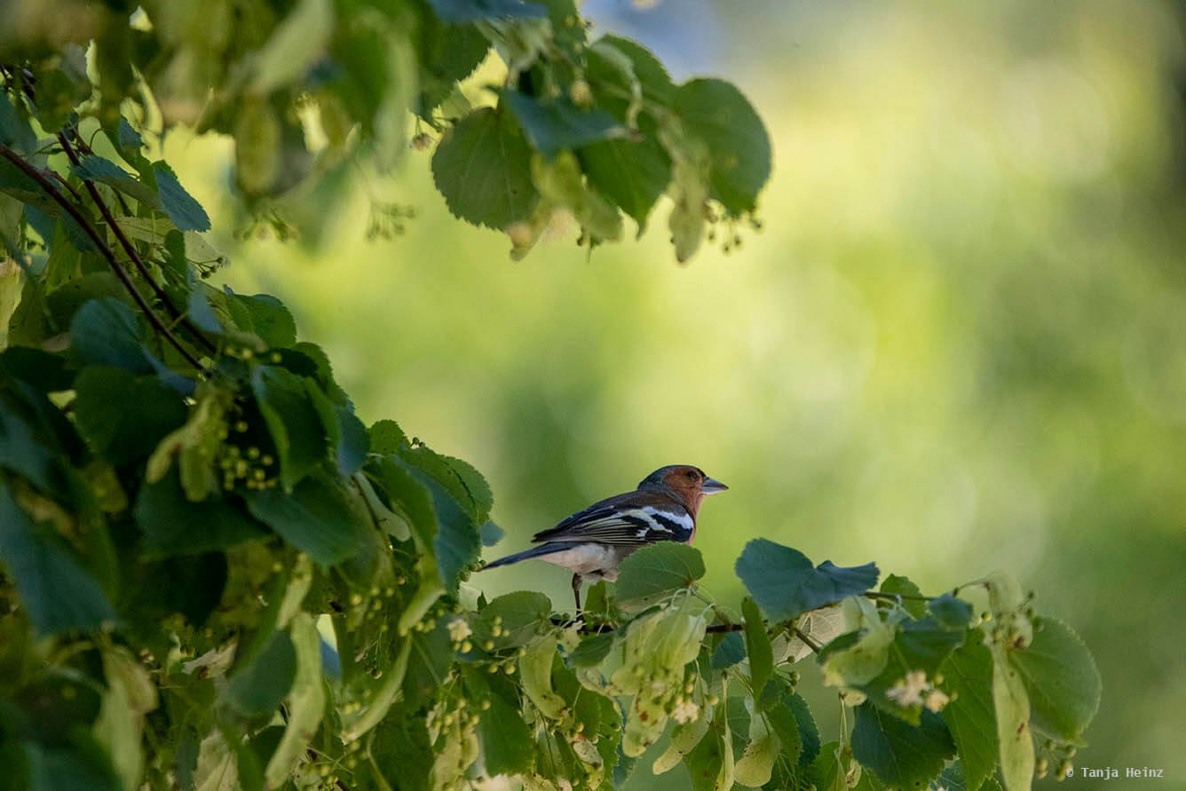 Common chaffinch in a tree