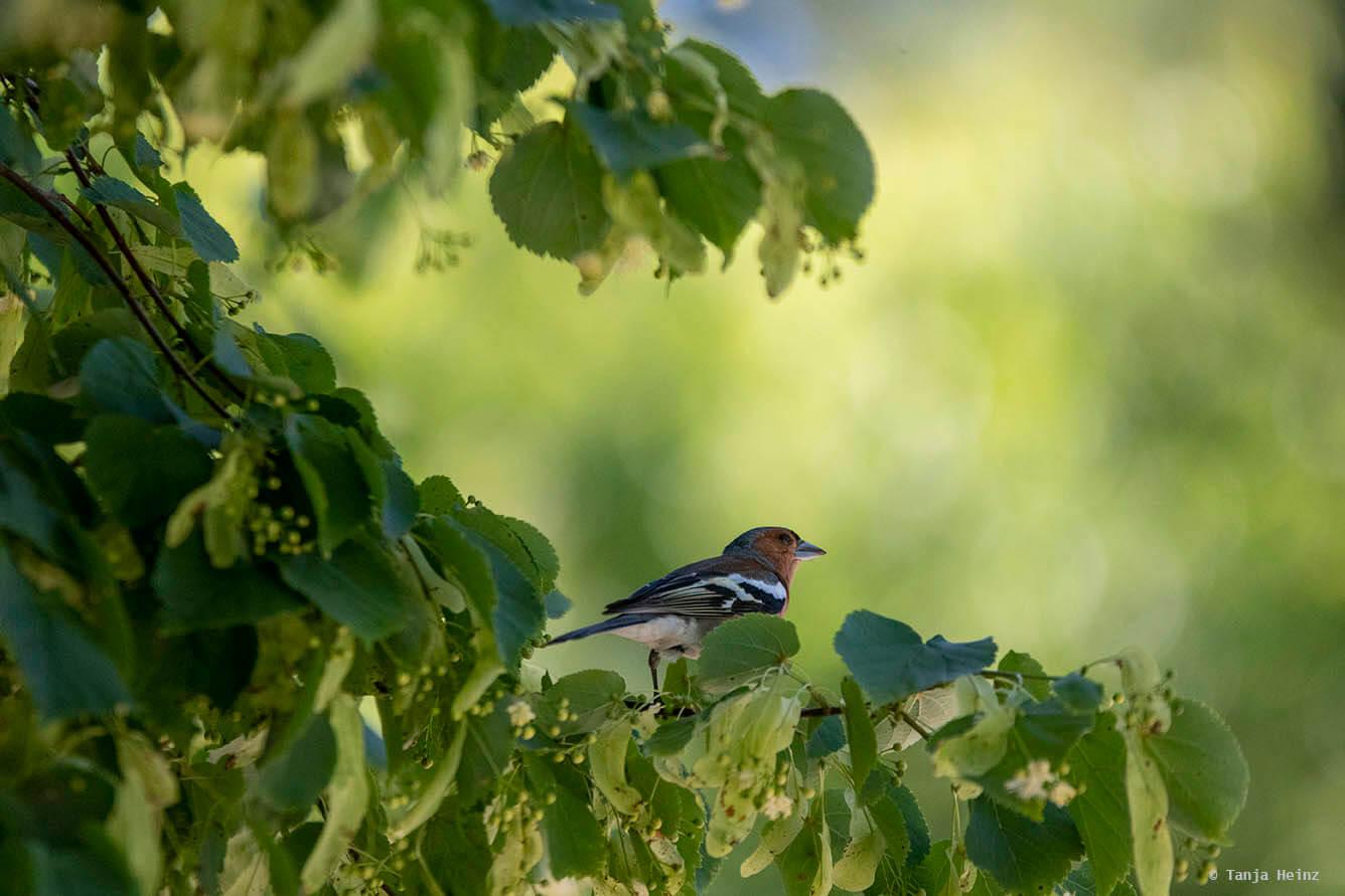 Buchfink in einem Baum