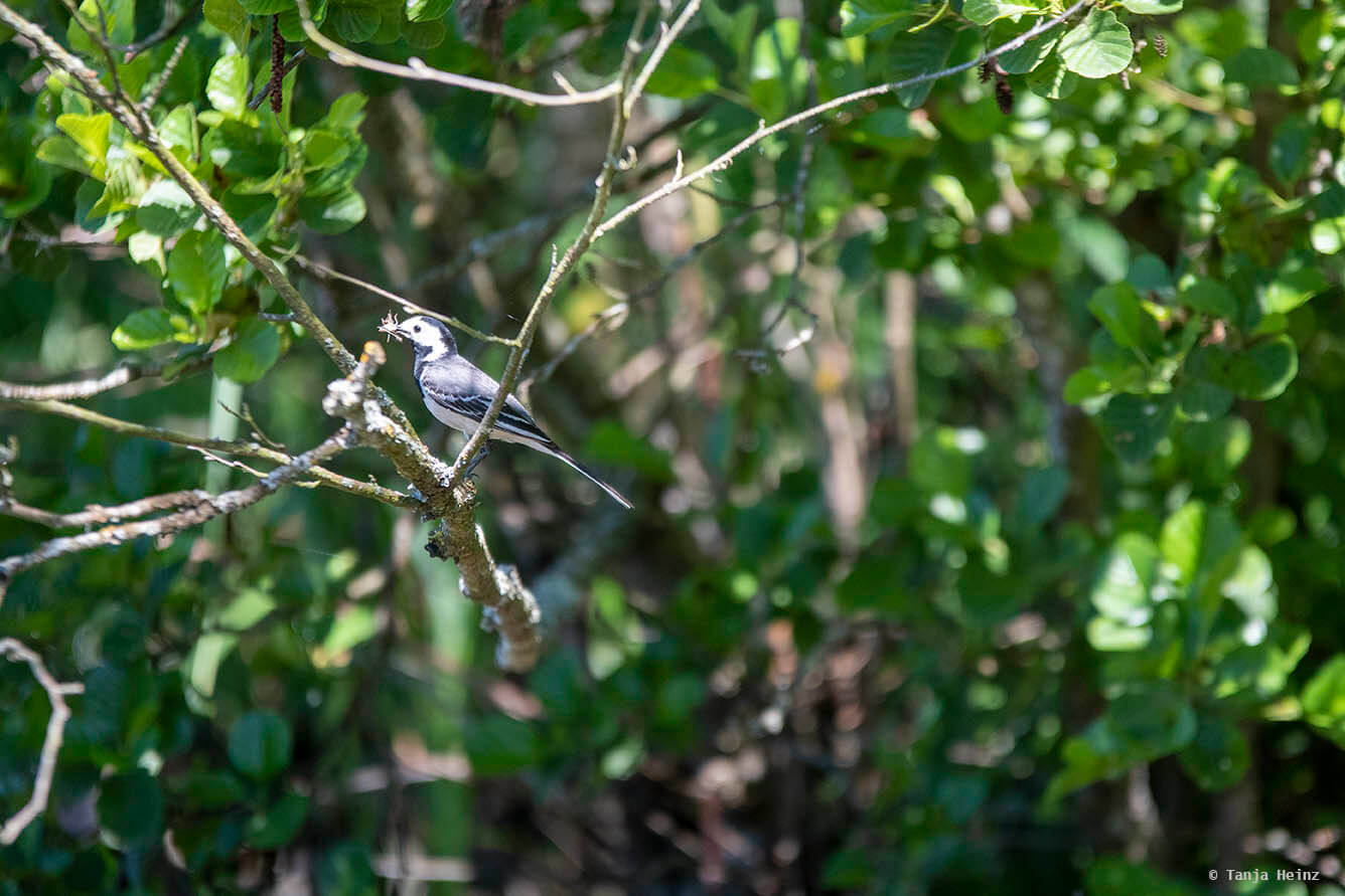 White wagtail in a tree