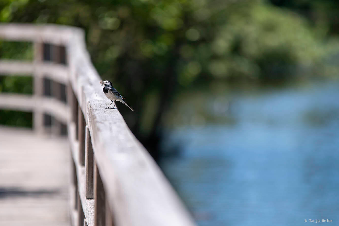 White wagtail on a rail