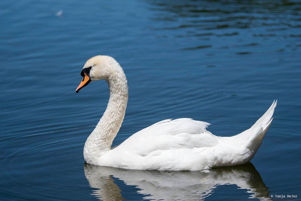 Höckerschwan im See