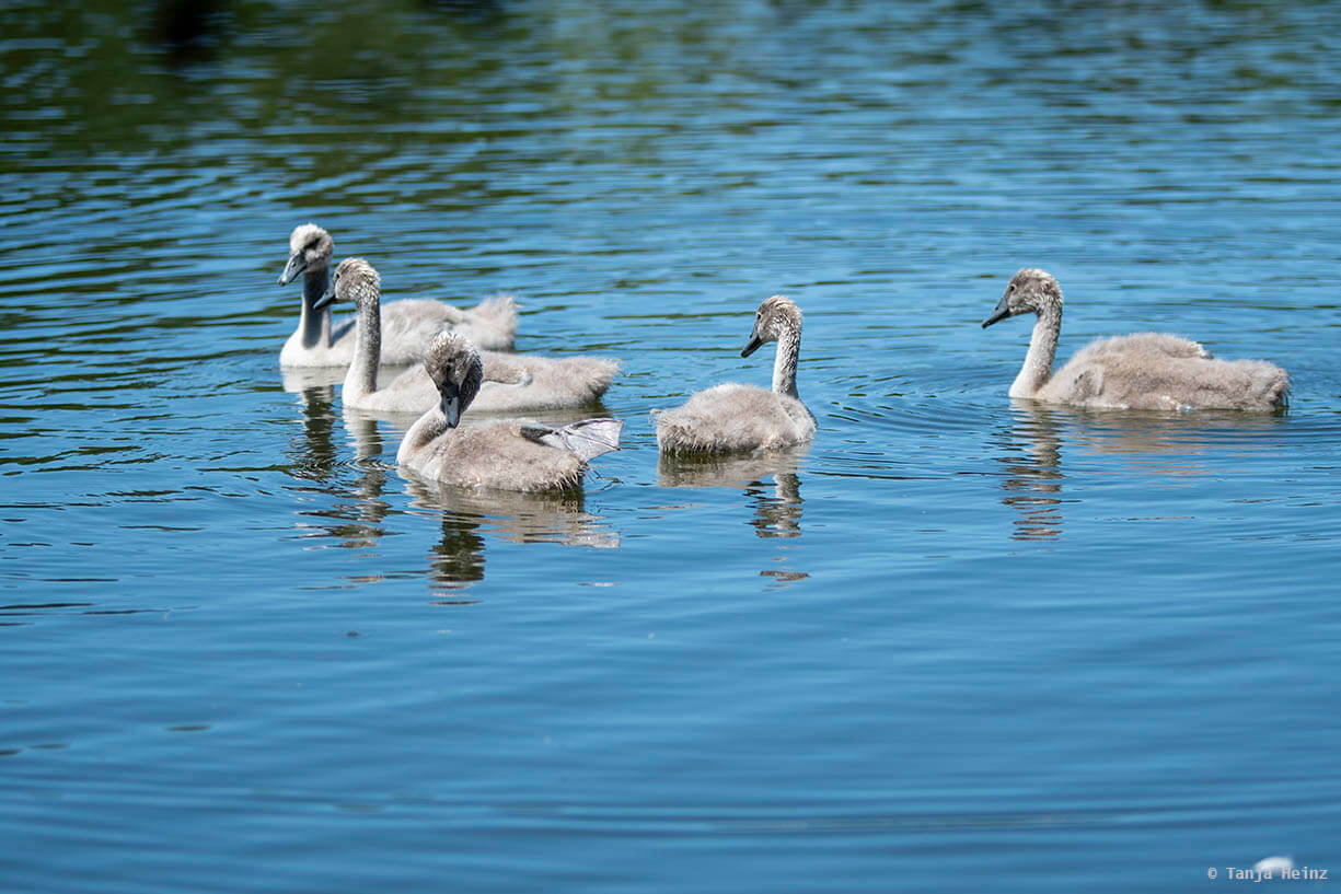 Höckerschwan-Jungtiere im See