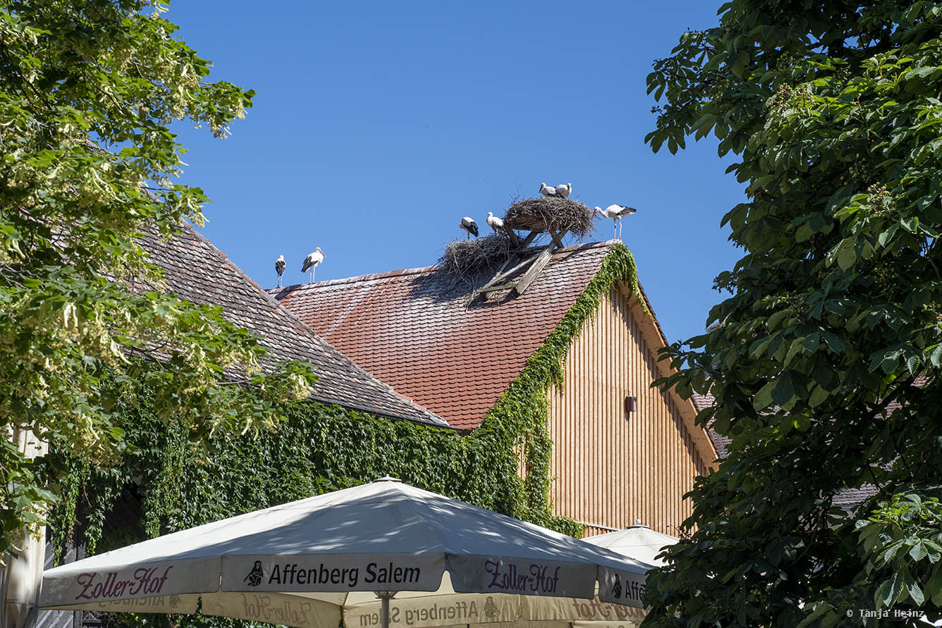 White storks at the Affenberg