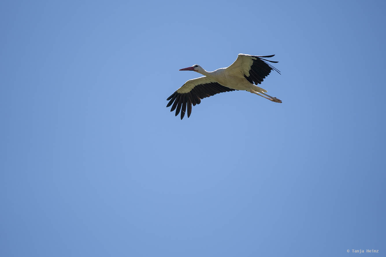White stork in flight