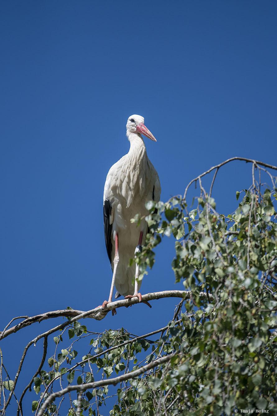 Weißstorch auf einem Baumast