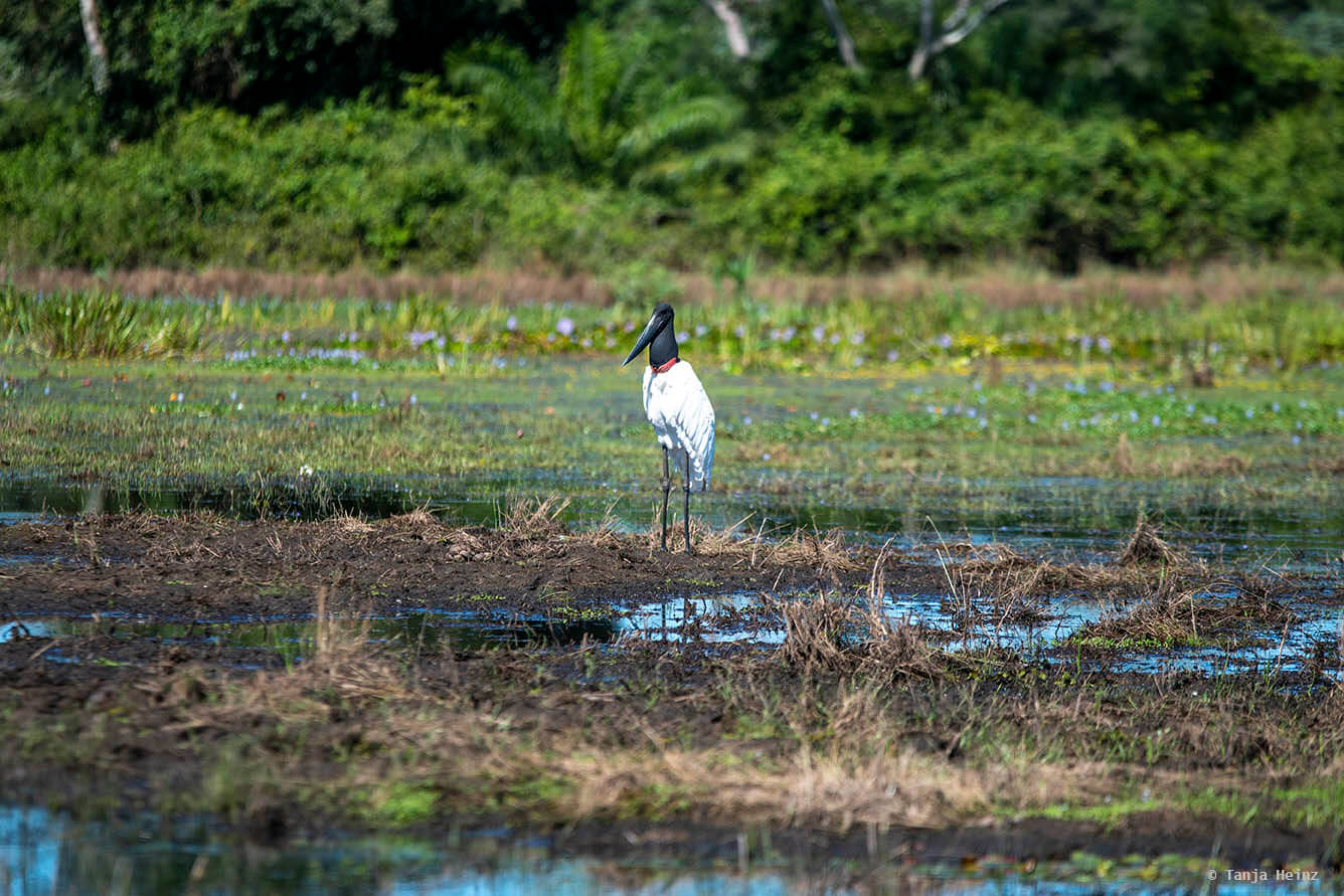 Jabiru in the Pantanal