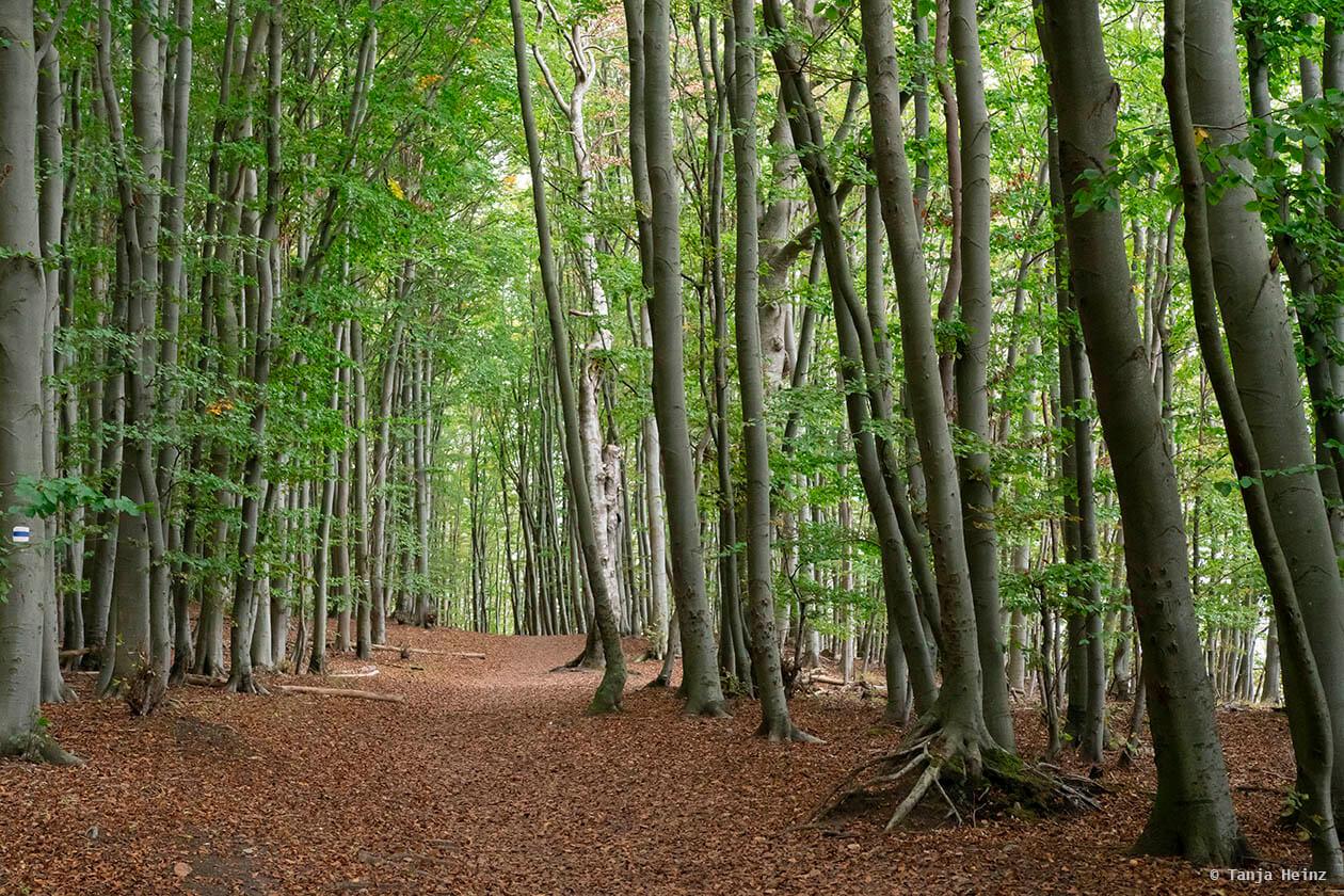beech forest on Rügen
