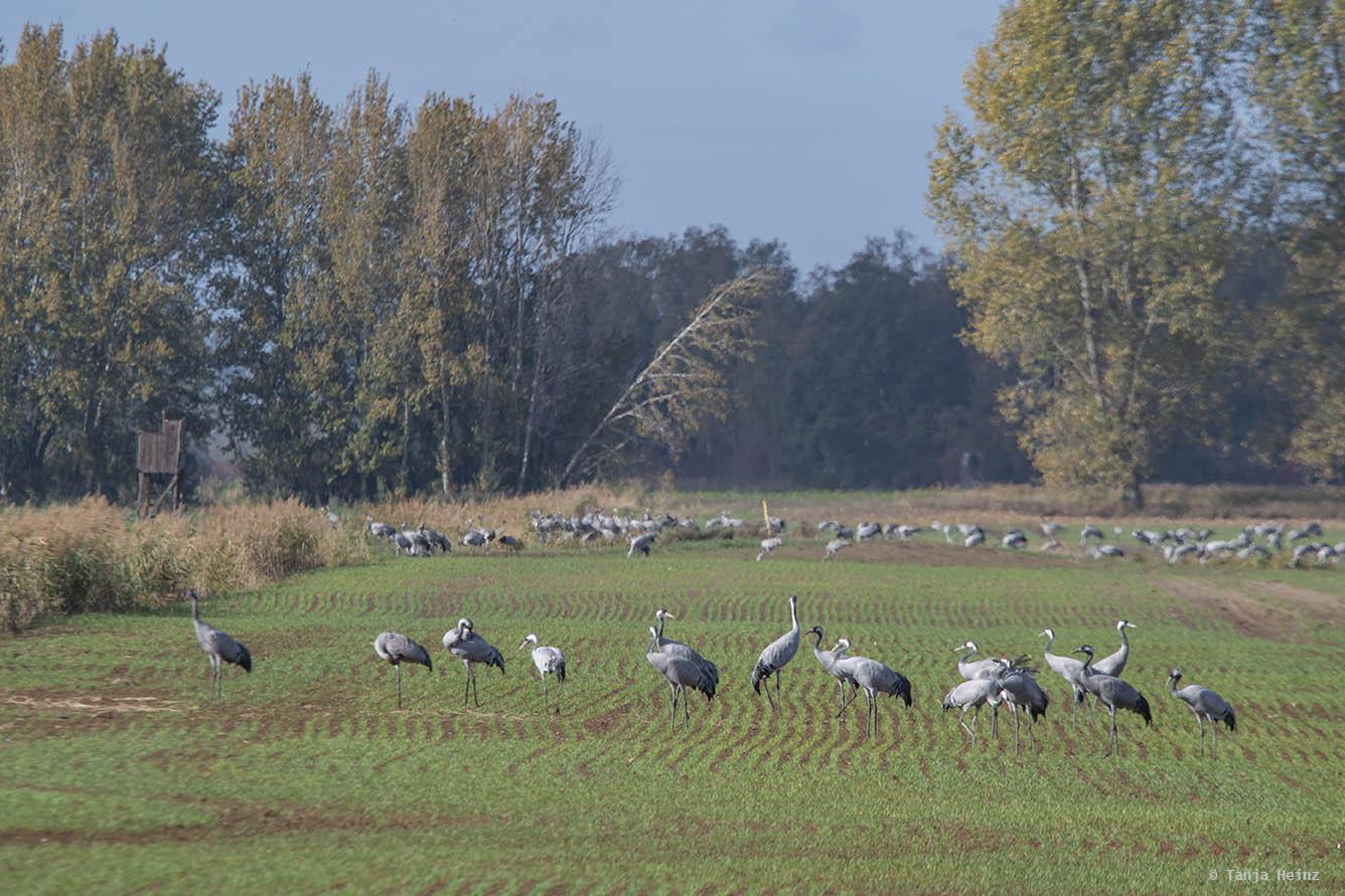 Common cranes in Linum