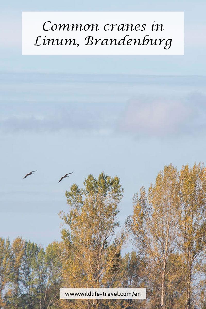Cranes in Linum