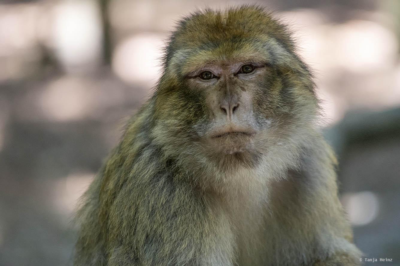 barbary macaque close-up