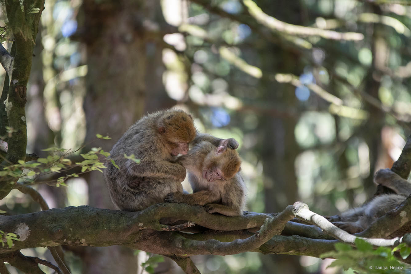 barbary macaques in a tree