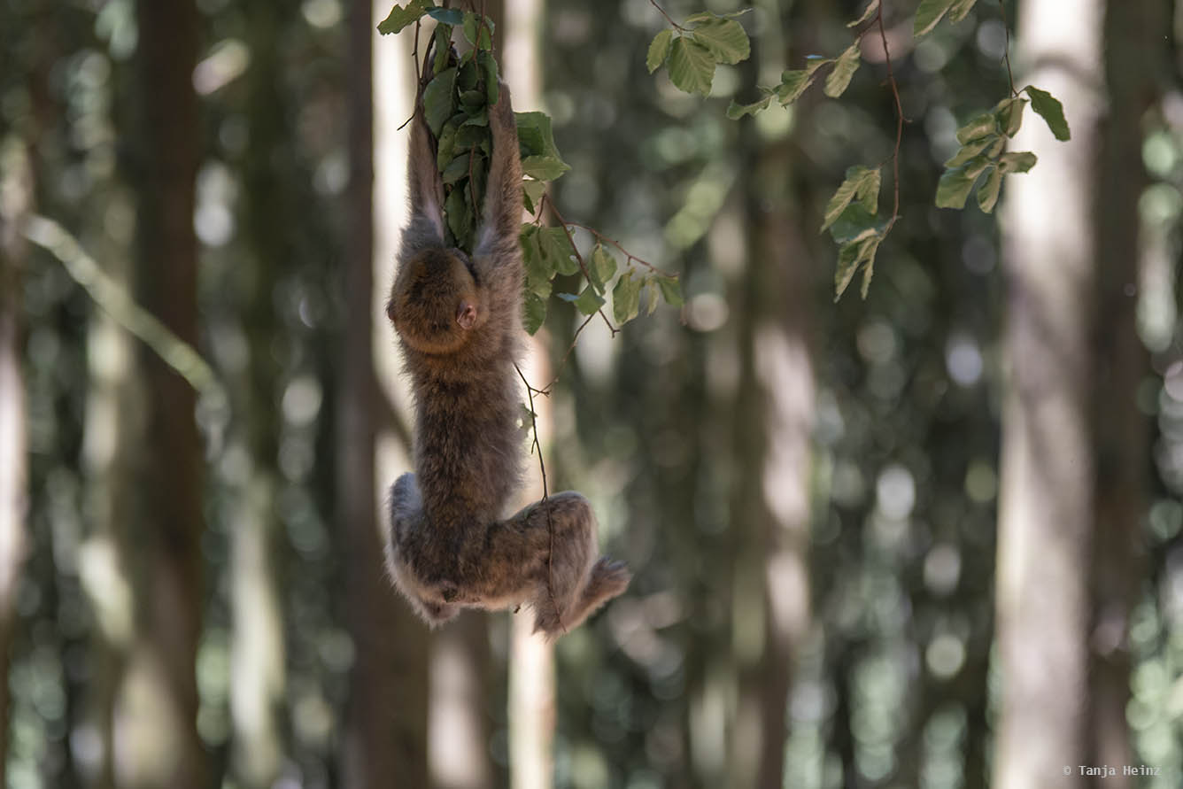 barbary macaque playing in a tree