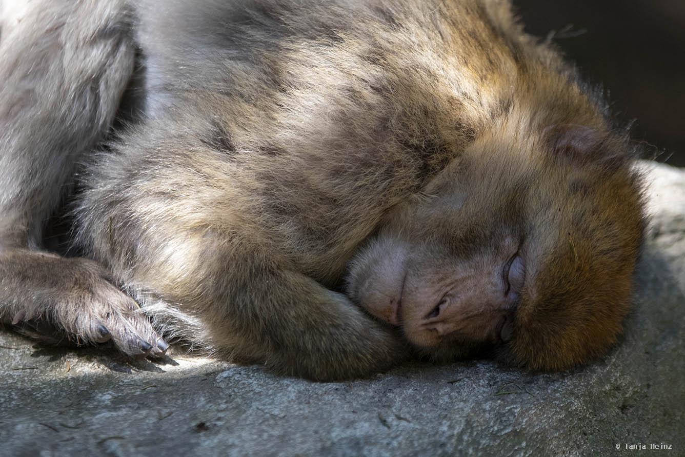 barbary macaque sleeping
