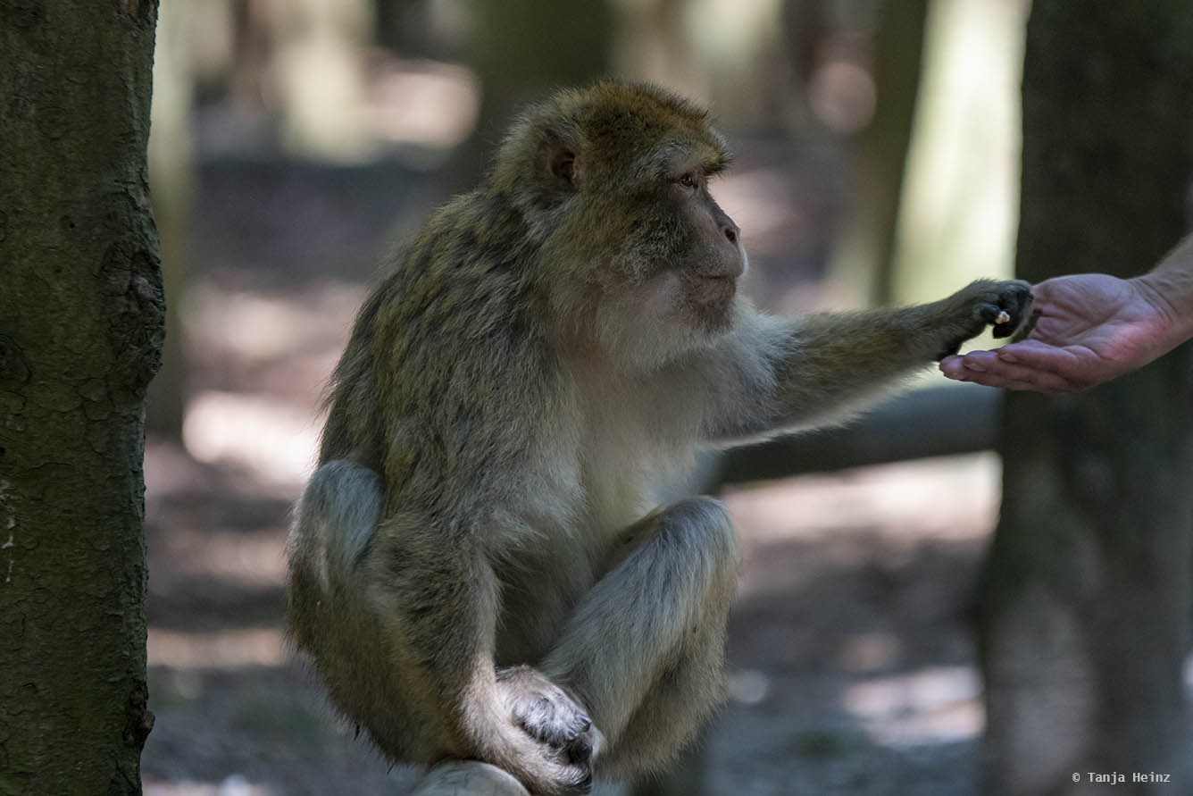 barbary macaque being fed with popcorn