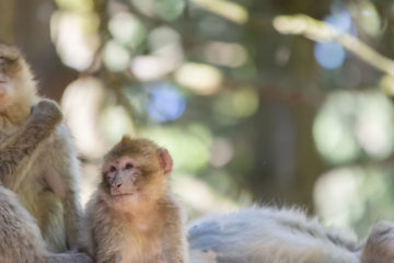 barbary macaque on a branch