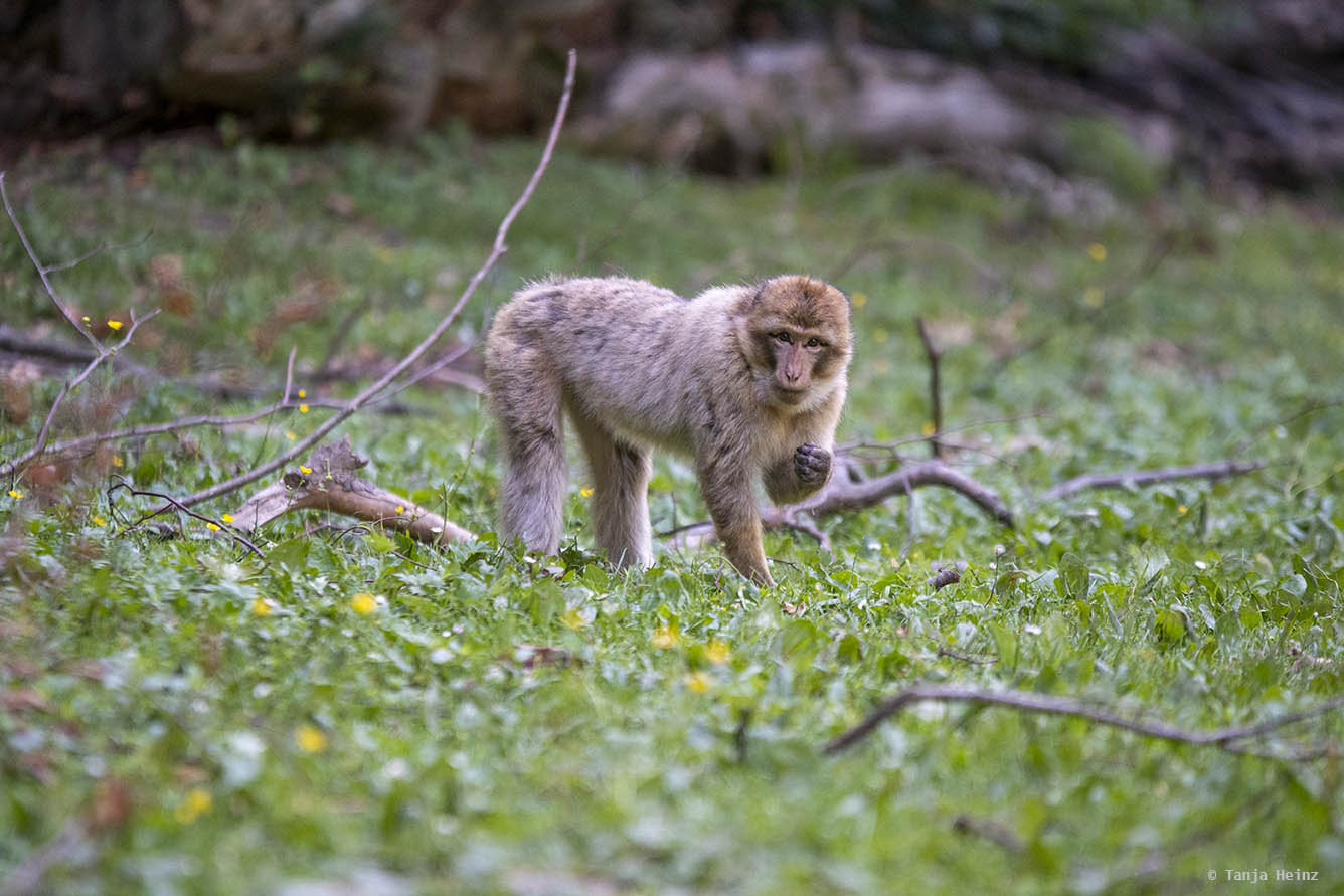 barbary macaques in the grass looking for food