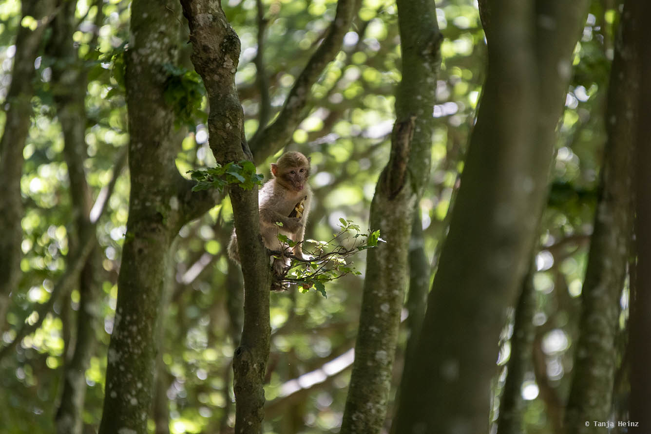 barbary macaque in a tree