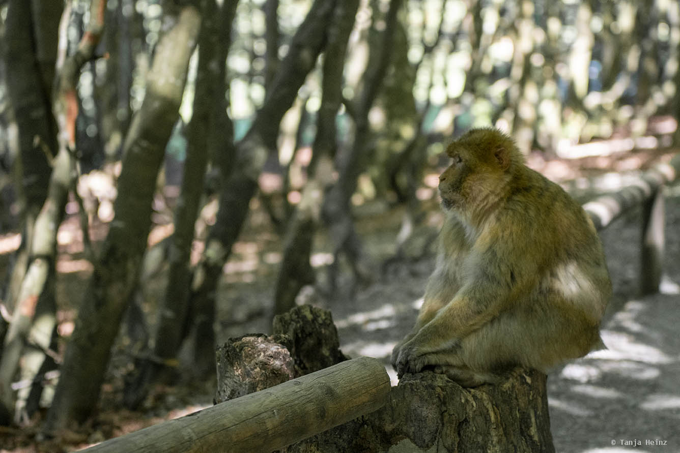 barbary macaques on the Affenberg Salem