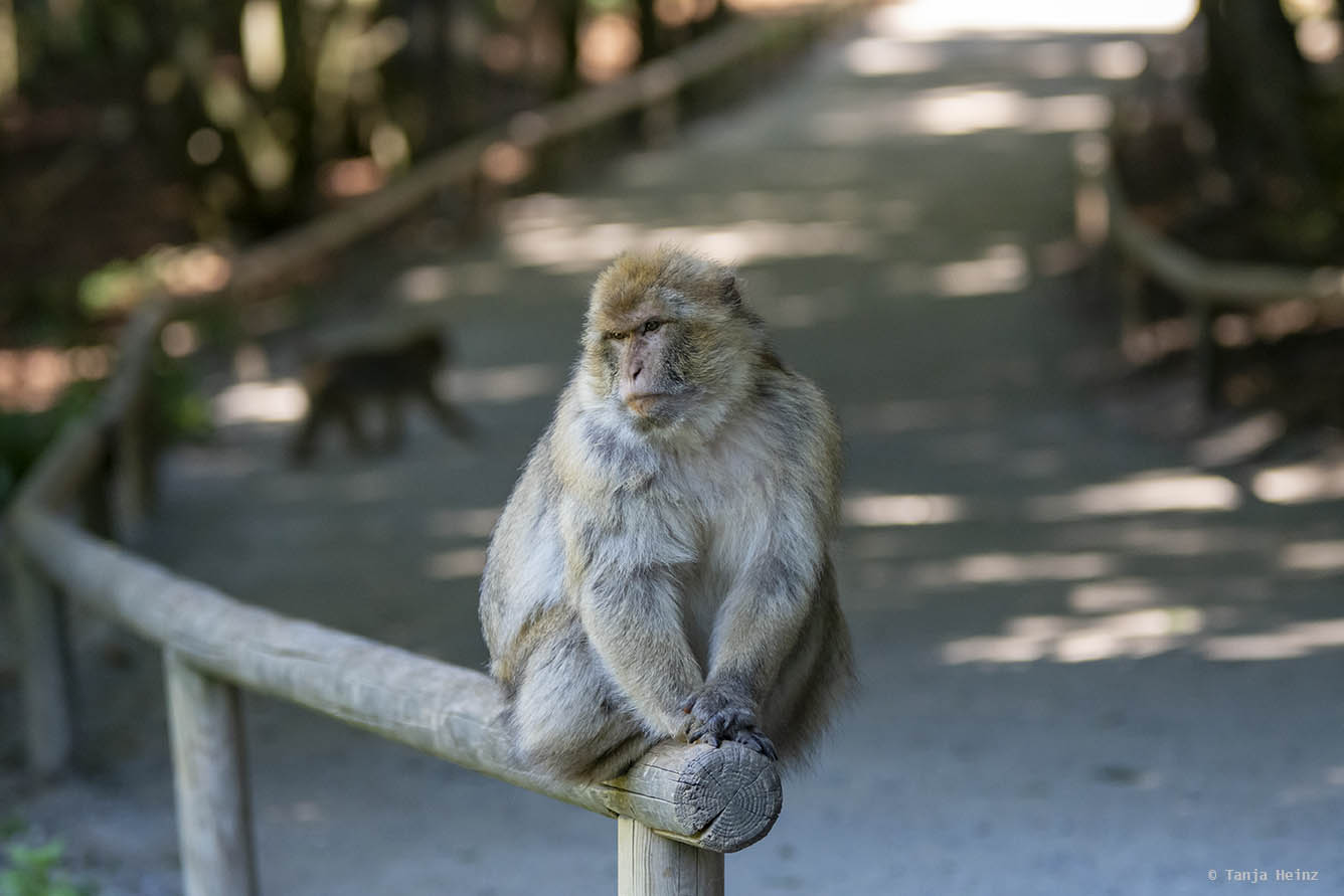 barbary macaque on the Affenberg Salem